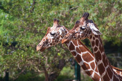 Couple of giraffes. Two giraffes walking between trees Royalty Free Stock Photography