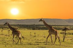 Couple giraffes walking in african savannah at sunset. Tanzania. Africa royalty free stock images