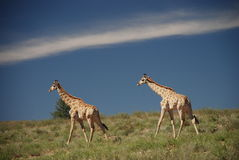 A couple of giraffes walking in the bush, Kgalagadi Transfrontier Park, Northern Cape, South Africa. Giraffes walking in the wild, Kgalagadi Transfrontier Park Royalty Free Stock Photos