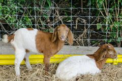 Couple Goat in Pets Show. Couple young Goat Stand and lay down in Pets Show Bangkok Thailand Royalty Free Stock Photography