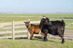 Couple goats in landscape Royalty Free Stock Photography