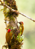 A couple of the Golden-Olive Woodpecker. (Colaptes rubiginosus) looks for food in the trunk of a tree covered by epiphyte plants typical of the peruvian cloud Stock Photo