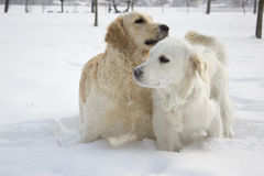 A couple of golden retriever Stock Photos