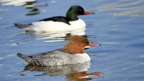 Couple of goosanders Royalty Free Stock Photo
