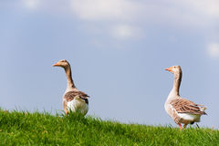 Couple gooses Stock Photography