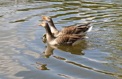 Couple of Gooses. Are protecting the young goslings Stock Images