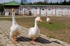 Couple of gooses Stock Image
