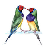 Couple of Gould finch, watercolor painting. Vector illustration of birds Royalty Free Stock Photo