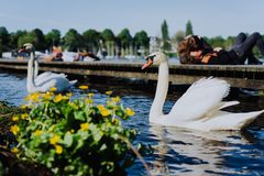 Couple of grace white grace swans on Alster lake. Unrecognizable couple kissing on pier in background on a sunny day. Hamburg Royalty Free Stock Image