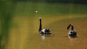 Couple of graceful black swans gliding on pond with green water surface at sunny summer day.  stock video footage