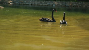 Couple of graceful family of black swans in pond with green water at sunny summer day.  stock video
