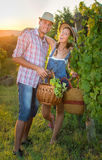 Couple in grape picking at the vineyard with a basket Royalty Free Stock Image