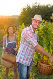 Couple in grape picking at the vineyard Royalty Free Stock Image