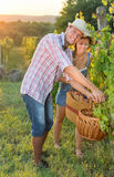 Couple in grape picking at the vineyard Royalty Free Stock Photography