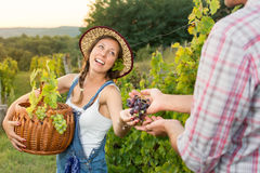 Couple in grape picking at the vineyard Stock Images