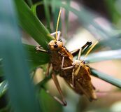 Couple of grasshoppers mating Royalty Free Stock Image