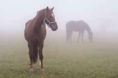 A couple of grassing horses Stock Image