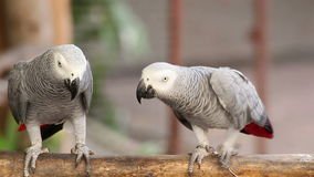 Couple Gray African Parrot kissing and take care together stock video