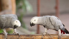 Couple Gray African Parrot kissing and take care together stock footage