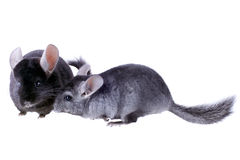 Couple of gray ebonite chinchilla Stock Image