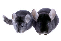 Couple of gray ebonite chinchilla Royalty Free Stock Photography