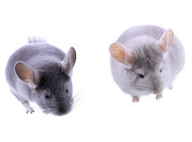 Couple of gray ebonite chinchilla Stock Photography