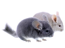 Couple of gray ebonite chinchilla Royalty Free Stock Photos