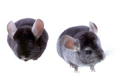 Couple of gray ebonite chinchilla on white. Royalty Free Stock Photo