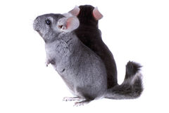 Couple of gray ebonite chinchilla on white. Royalty Free Stock Images