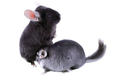 Couple of gray ebonite chinchilla on white. Royalty Free Stock Image
