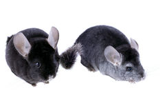 Couple of gray ebonite chinchilla on white. Royalty Free Stock Photos