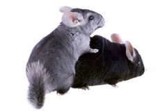 Couple of gray ebonite chinchilla on white. Stock Photo
