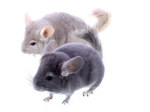 Couple of gray ebonite chinchilla on white. Stock Photos