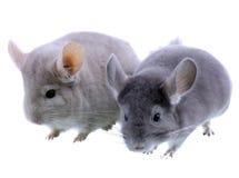 Couple of gray ebonite chinchilla on white. Couple of gray ebonite chinchilla on white background. Isolataed Stock Photo