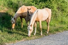 Two horses protects a foal. A couple of grazing horses protecting a foal from stranger photographer Royalty Free Stock Image