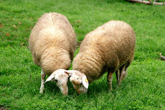 A couple of grazing sheep. In the green dutch meadows Stock Photo