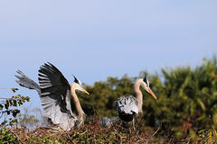 Couple of Great Blue Herons Royalty Free Stock Images
