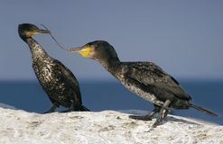 Couple of Great Cormorants Stock Photography
