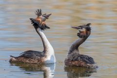 Couple great crested grebe & x28;Podiceps cristatus& x29; during mating ritual in breeding plumage royalty free stock images