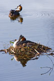 Couple Great crested Grebe. In spring on nest with reflection in water Stock Photo