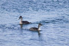 Couple of the great crested grebes stock images