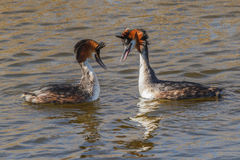 Couple of great crested grebes Stock Photo