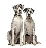 Couple of Great Dane sitting and looking at the camera Royalty Free Stock Photo
