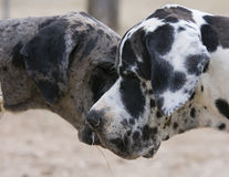 couple of great danes Stock Photos