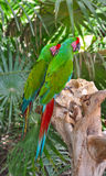 A couple of Great Green Macaws Stock Images