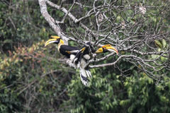 Couple of Great hornbill in nature in thewild Stock Photography
