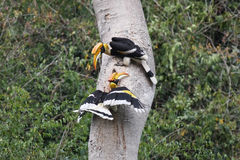 Couple of Great hornbill in nature in thewild Royalty Free Stock Image
