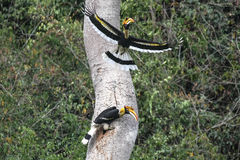 Couple of Great hornbill in nature in thewild Royalty Free Stock Photos