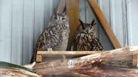 Couple of Great Horned Owls perching on a perch stock footage