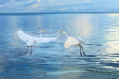 Couple of Great White Heron birds Stock Images